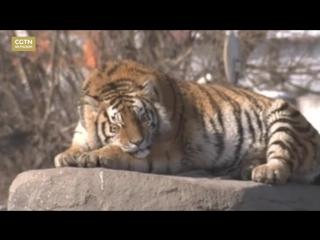 Растолстевшие амурские тигры из зоопарка провинции Хэйлунцзян стали героями Интернета