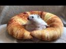 Еж застрял в круассане - Hedgehog Gets Stuck In Croissant