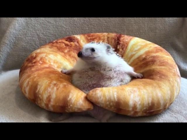 Еж застрял в круассане Hedgehog Gets Stuck In Croissant