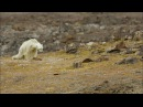 Starving polar bear video exposes climate change impact