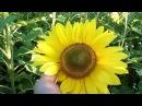 Подсолнухи. Подсолнуховое поле. Подсолнечник. Подсолнечное поле. Природа. Sunflower f...