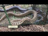 Easy Trap net giant Snake ( Trapping 3 snakes ) B
