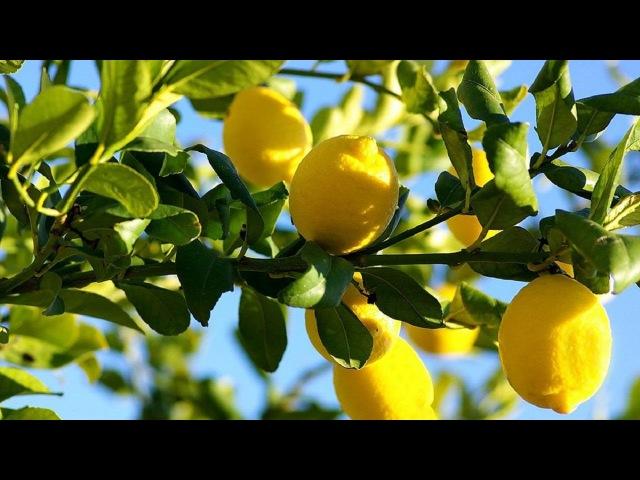 Дачники 9 11 2016 Лимоны, лаймы, мандарины, урожай на подоконнике
