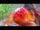 Hitler the gold fish