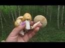 Поход за грибами. Поплавок шафранный и подберезовики.