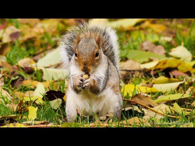 Gray Squirrel / Каролинская белка / Sciurus carolinensis
