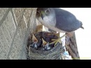 Hawk steals two 14 day old baby robins right out of nest