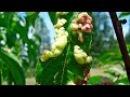 Курчавость листьев ПЕРСИКА, как лечить Быстро и Эффективно