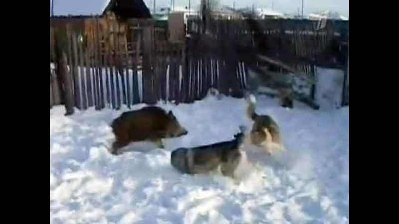 ВПодмосковье водном изохотничьих хозяйств диких зверей травят собаками, обучая ихохоте