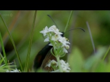 BBC Natural World 2010 - Butterflies A Very British Obsession (HDTV x264)