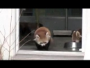 Няшка испугалась малая-красная панда