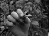 Attenborough finds a shady Gecko - Zoo Quest to Madagascar - BBC