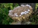 Нашли гнездо шершней на пасеке Укус шершня Жизнь в деревне