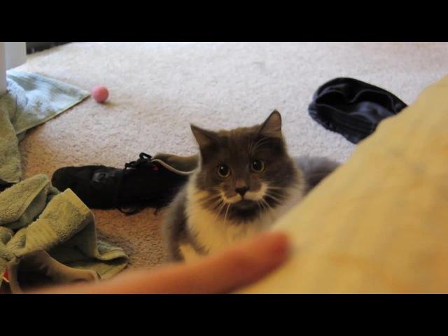 Poirot Cat