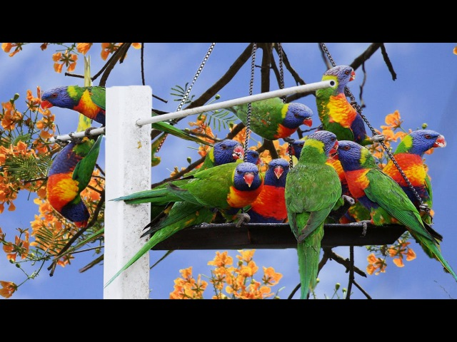 Beautiful Bird And Exotic Animal - Rainbow Lorikeet Parrots And Fennex Fox