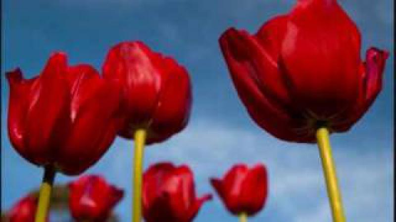 Tiptoe through The Tulips (hopefully better)