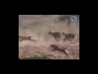 Озвучка фильма про диких животных