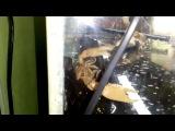 Рак альпинист в домашнем аквариуме. Procambarus clarkii white (snow). Болотный флоридский рак.