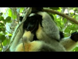 Cute Jumping Indri Lemurs - Madagascar - BBC