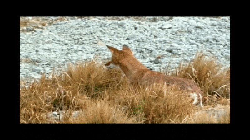 Ethiopian Wolf Catches a Giant Mole Rat - Create, Discover and Share GIFs on Gfycat