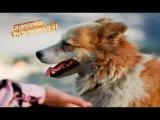 Собака-гаишник контролирует движение людей и машин на перекрестке — Сюрприз, сю...
