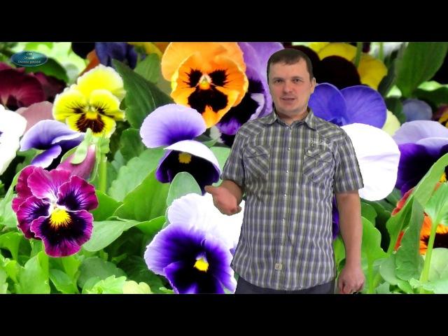 ВИОЛА. Как вырастить хорошую рассаду виолы(Анютиных глазок(
