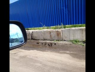 Уточки бегают вдоль дороги на Авиастроителей
