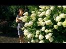 Гортензии в саду Гортензия метельчатая Grandiflora обрезка и уход