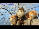 Siberian farm cats, White Frost, Hoarfrost Кошляндия Иней Зима и кошки
