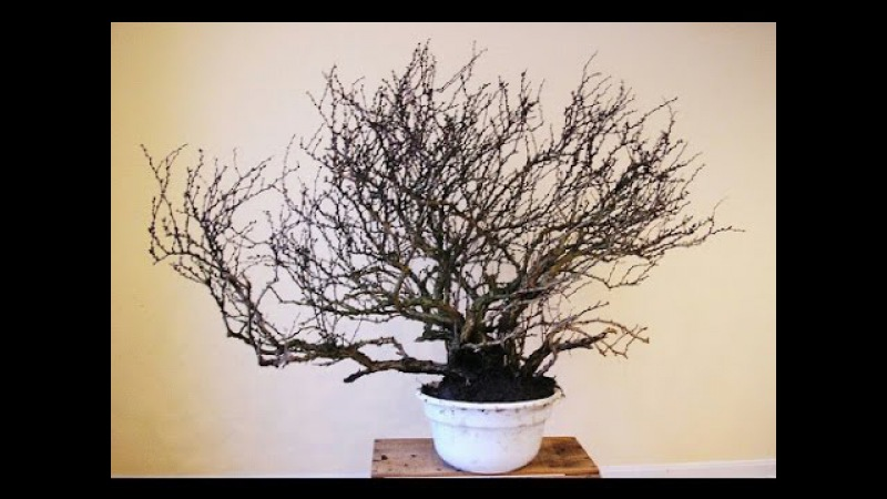 Barberry Bonsai Tree(barberis concord)