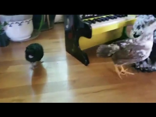 Talented Hen Plays Music for Her Adopted Chicks