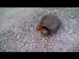 Почему не стоит дразнить черепаху палкой