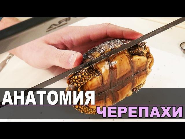 ЧТО, ЕСЛИ вытащить черепаху из панциря / ВСКРЫВАЕМ павшую черепаху