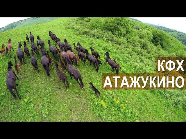 Лошади Кабардинской породы и КРС. КФХ Атажукино. Кабардино-Балкария