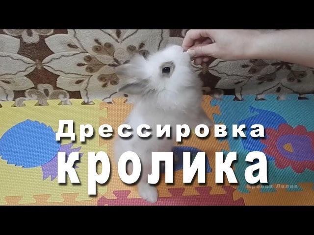Дрессировка кролика командам