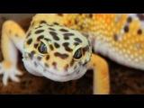 ULTIMATE LEOPARD GECKO BREEDING SETUP!!! SnakeBytesTV