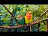 Друзья! Теперь порадуем вас сюжетом про попугаев неразлучников. Смотрим, удивляемся, влюбляемся в этих красавцев)