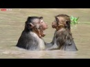 Free time of monkeys is go to swim and playing