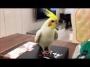 Танцующий попугай звезда ютуба Попугай танцует чечётку и играет на барабане