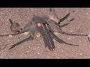 White-backed Mousebird / Белоспинная птица-мышь / Colius colius