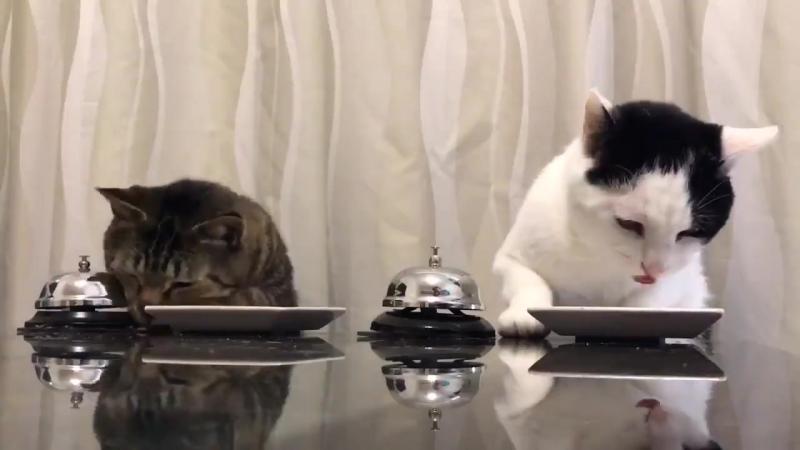 Коты надрессировали человека давать еду по звонку