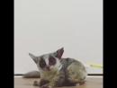 Как чешут лемура  (6 sec)