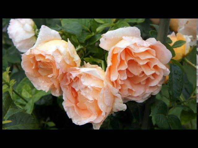 ❀ Лучшие сорта роз, цветущих все лето