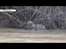 Очевидцы сняли смертельную схватку ягуара с кайманом