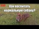 Совет собаководам. Как воспитать нормальную собаку Питбуль red nose