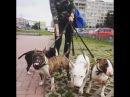 Бультерьер- собака компаньон