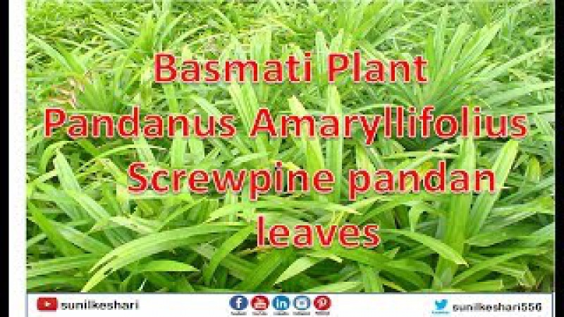Basmati Plant | Pandanus Amaryllifolius | Screwpine | pandan leaves