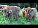 Scottish Highland Cattle In Finland: Fluffy Calves Everywhere! / Ylämaankarja vasikoita