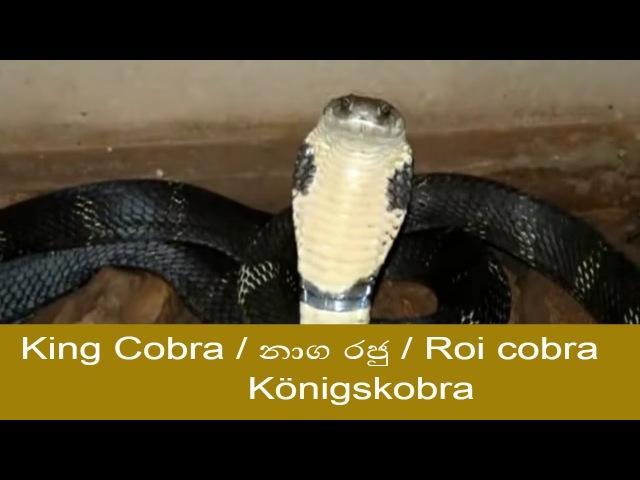 Cobra / кобра / Kobra / නාගයා