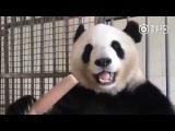 Вы когда-нибудь видели как Панда ест бамбук?